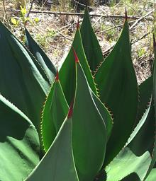Agave antillarum