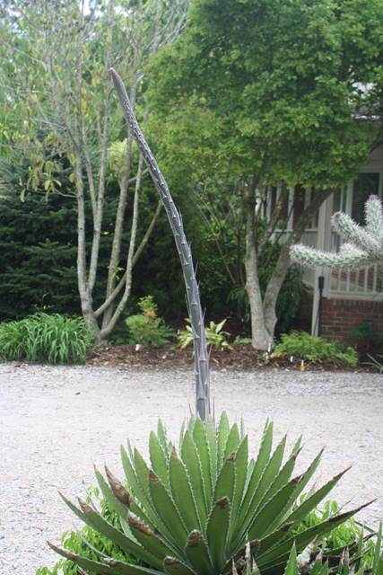 Agave lophantha 'Bandaid' with spike (Avent)