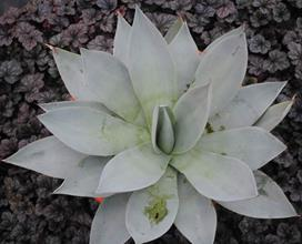 Agave mitis 'Silver Anniversary'