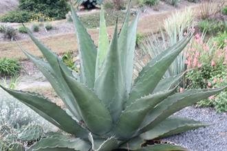 Agave montana x gentryi PDN005
