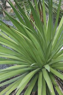 Agave ocahui var. longifolia