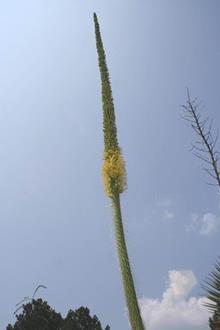 Agave ocahui var. longifolia flower spike