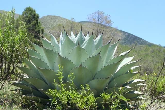 Agave ovatifolia Giant form (G Starr)
