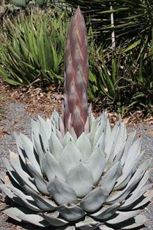 Agave parryi JC Raulston in bud
