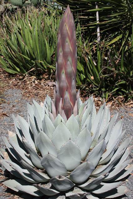 Agave parryi JC Raulston in bud (Avent)