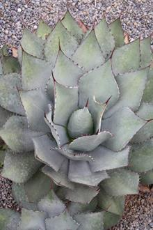 Agave parryi PDN001