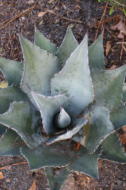 Agave parryi hybrid PDN003 (Avent)