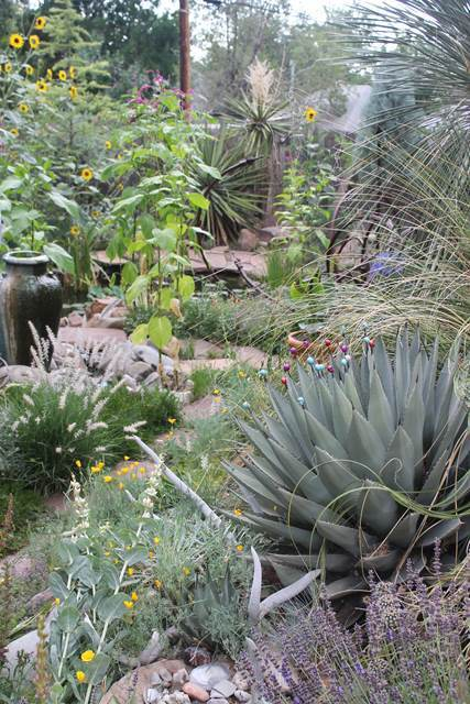 Agave parryi v. neomexicana at Dan Johnson Gdn, CO (Avent)