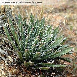Agave parviflora ssp. flexiflora from RPS seed (Avent)