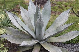 Agave x protamericana 'Funky Toes'