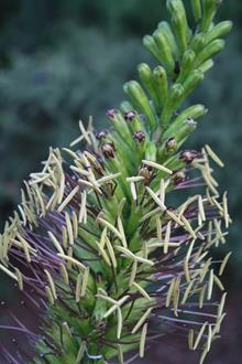 Agave striata flower closeup