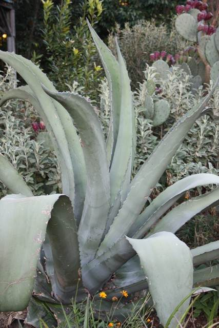 Agave 'Grey Gator' - a Plant Delights selection of Agave salmiana v. ferox x Agave scabra (Avent)