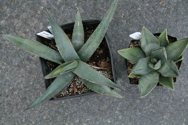 Agave 'Sharksin' left and Agave 'Sharkskin Shoes' right (Avent)