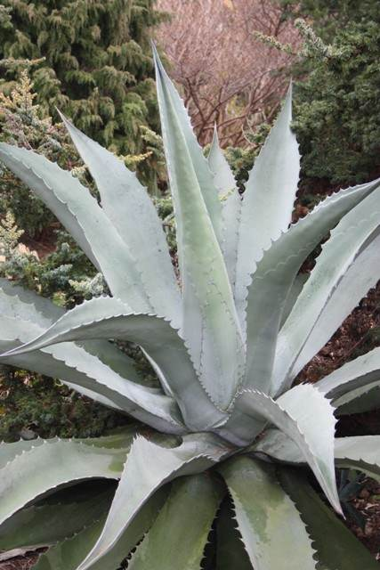 Agave 'Stormy Sieze' - A Plant Delights selection of Agave salmiana v. ferox x Agave scabra that died after flowering (Agave)