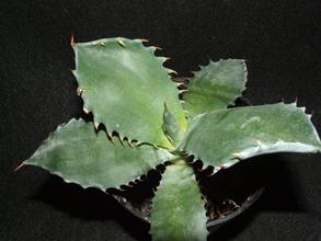 Agave 'Super Mega Tooth'