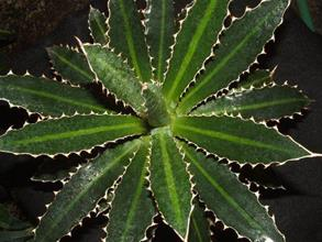 Agave 'Tiger Tooth'