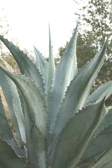 Agave x protamericana 'Funky Toes' Gardens, TX (Avent)