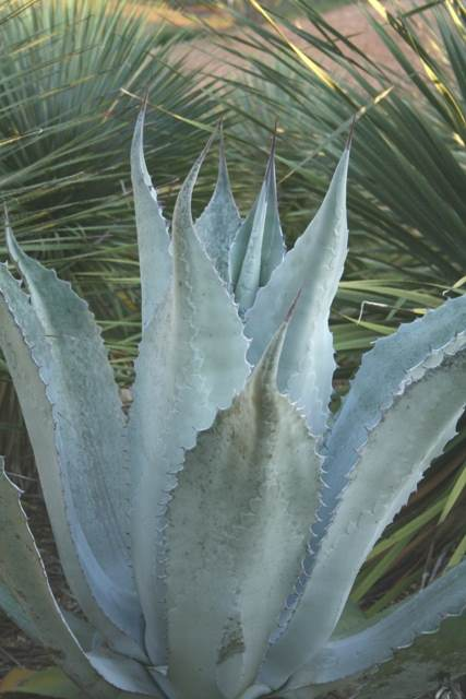 Agave x protamericana 'Miquihuana' 89- 6 at Peckerwood Gardens, TX (Avent)