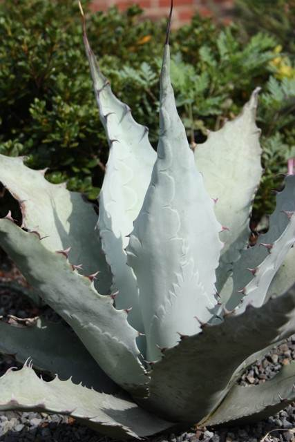 Agave havardiana 'Holy Grayle' PDN007 - a Plant Delights seedling (Avent)