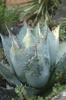 Agave parrasana 'Meat Claw'