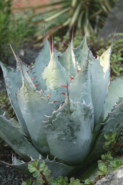 Agave parrasana 'Meat Claw' (Avent)