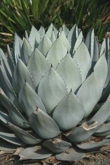 Agave parry ssp. huachucensis 'JC Raulston'