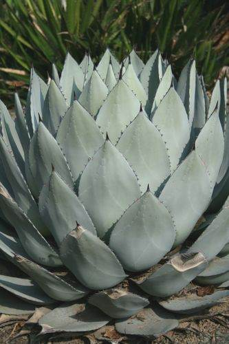 Agave parry v. huachucensis 'JC Raulston' @ JCRA (Avent)