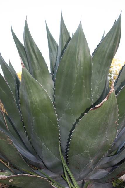 Agave x pseudoferox 'Green Goblet' - a Yucca Do introduction (Avent)
