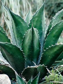 Agave x pseudoferox 'Green Goblet'