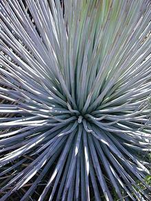 Agave striata 'Live Wires'
