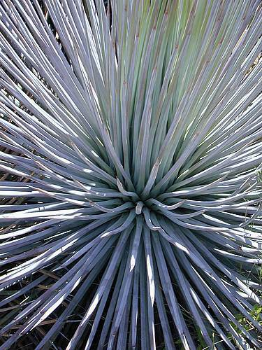 Agave striata 'Live Wires' @ Yucca Do, TX (Yucca Do)