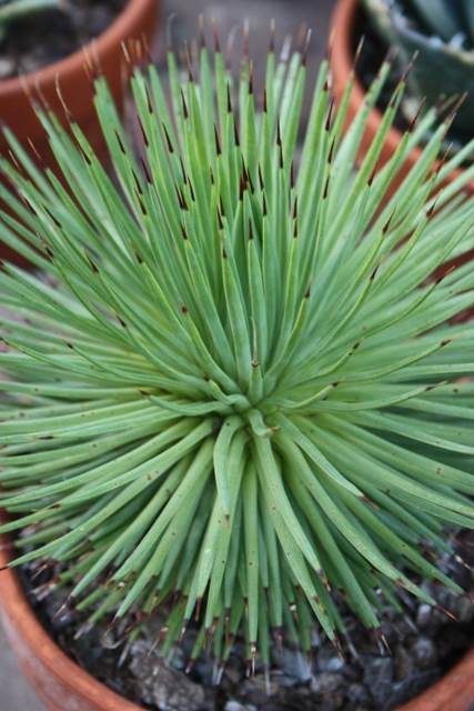 Agave stricta dwarf Theo form (Avent)