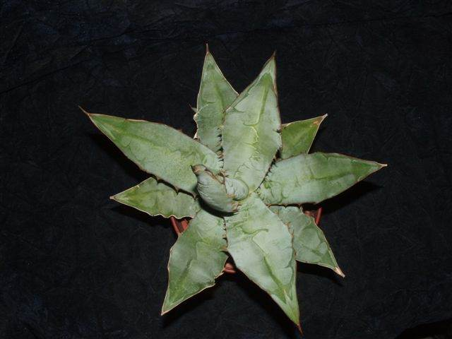 Agave 'Charlie' (R. Nowakowski) - An Agave titanota hybrid by Rick Nowakowski; whereabouts unknown after Rick's passing