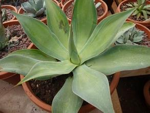 Agave 'Blue Flame' Mediopicta