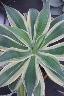 Agave 'Blue Flame' with white edge