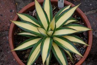 Agave 'Blue Glow' cream center