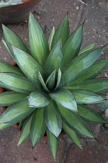 Agave 'Blue Glow' Mediopicta
