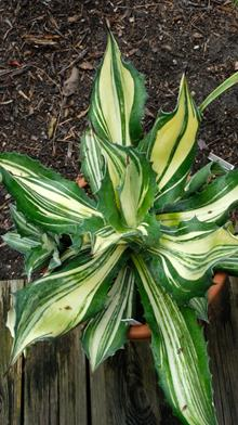 Agave 'Craziness'