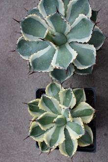 Agave 'Desert Diamond' (bottom)/Agave 'Kissho Kan' (top)