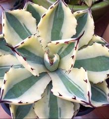 Agave 'Supercrown'