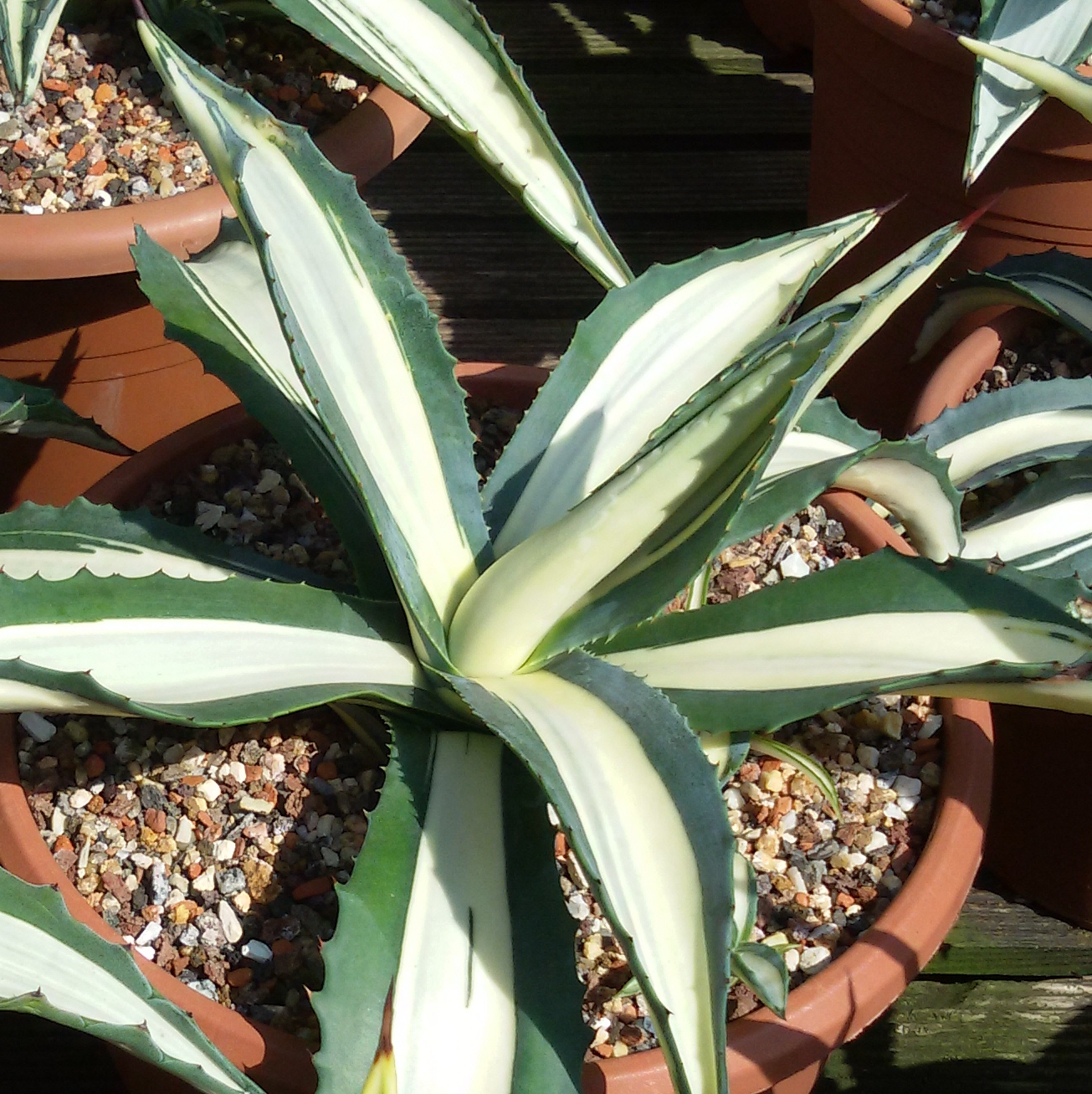 Photo Gallery Agaves Variegated Cultivars Agave Americana