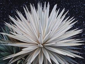 Agave angustifolia 'Woodrowii'
