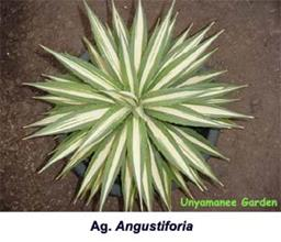 Agave angustifolia white center