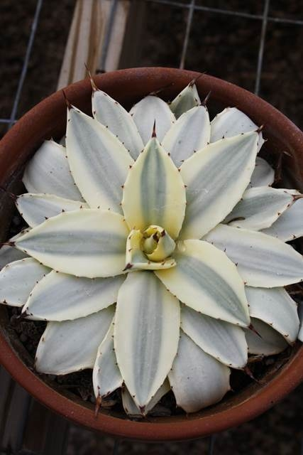 Agave applanata 'Cream Spike' sport PDN019 (Avent)