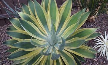 Agave attenuata wide gold margin