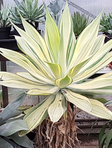 Agave attenuata 'Jos the Boss'