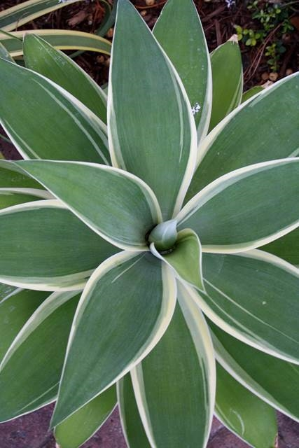 Agave attenuata 'Ray of Light' (Avent)