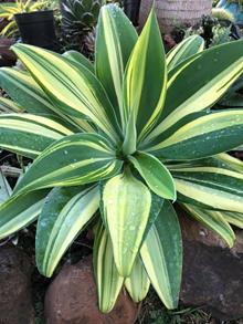 Agave attenuata streaked