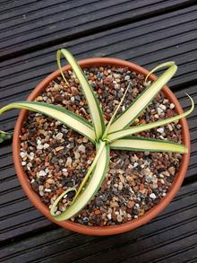 Agave bracteosa 'Nugget'