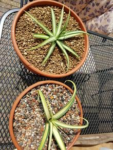 Agave bracteosa 'Campostella' (top) 'Nugget' (bottom)